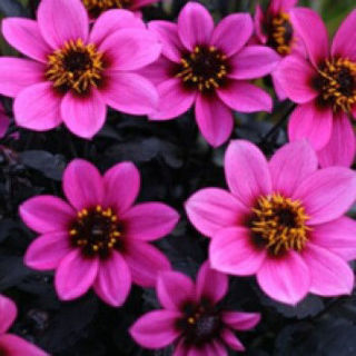 Picture of Dahlia Happy Days Purple Improved