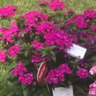 Picture of Dianthus Jolt Purple
