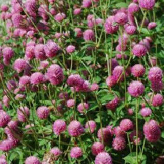 Picture of Gomphrena Las Vegas Pink