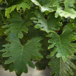 Picture of Philodendron Shangri-La