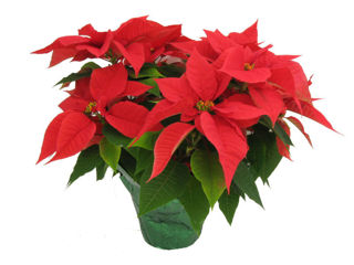 Picture of Poinsettia Red 2 Branch
